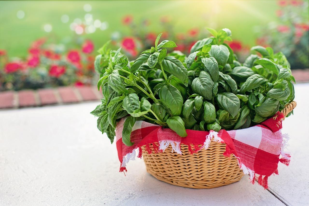 Le basilic, une herbe aromatique qui vous veut du bien!