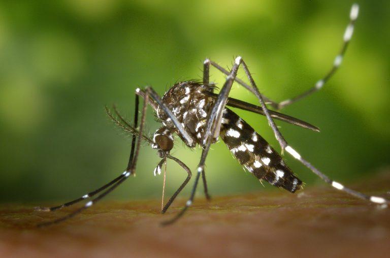 Le moustique Tigre - Corps et Santé