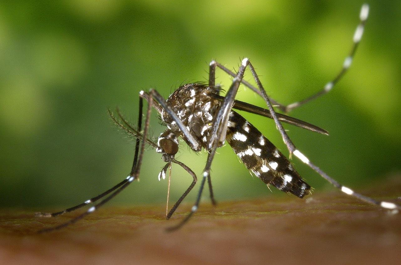 Quels sont les dangers du moustique tigre ?